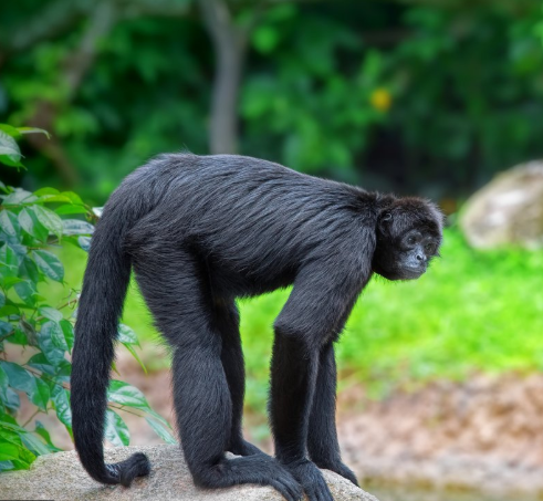 singe hurleur Ometepe