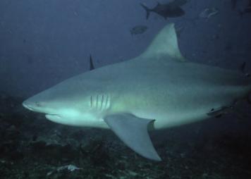 requins bouledogue Ometepe