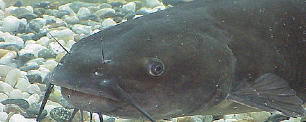 Ameiurus melas ou poisson-chat