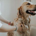 L'hépatite du chien : que savoir ?