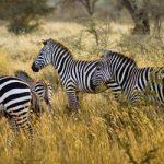 Pourquoi réserver un safari de luxe en Tanzanie